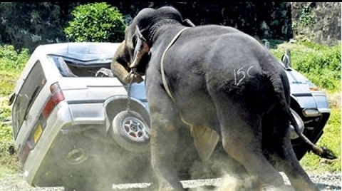 Elephants escape from circuses and express their anxiety.
