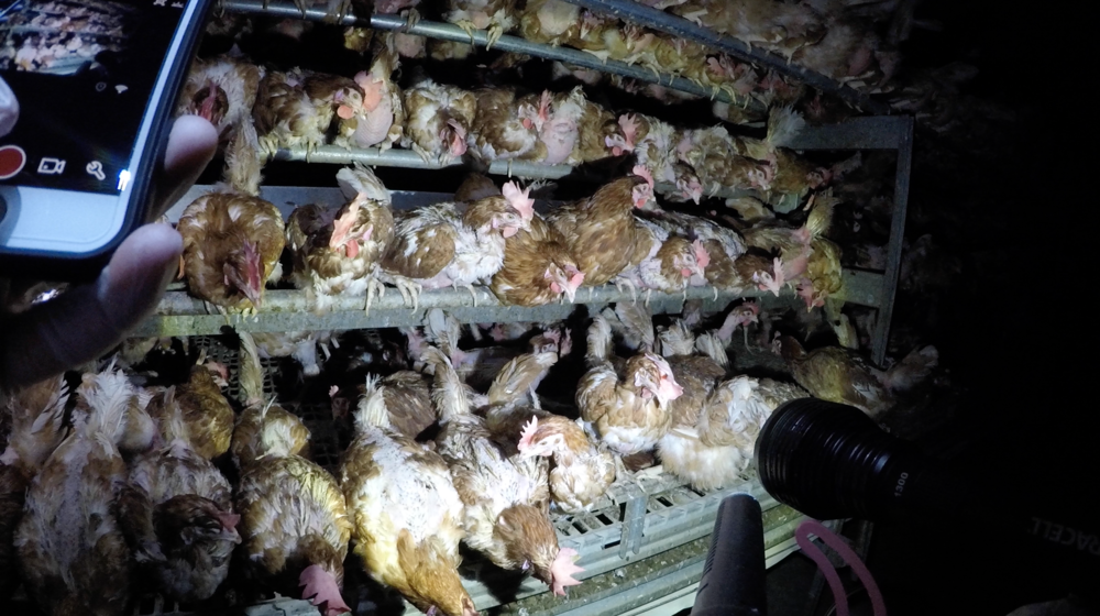 """DxE investigation at a """"free range"""" egg farm that supplies to Costco."""