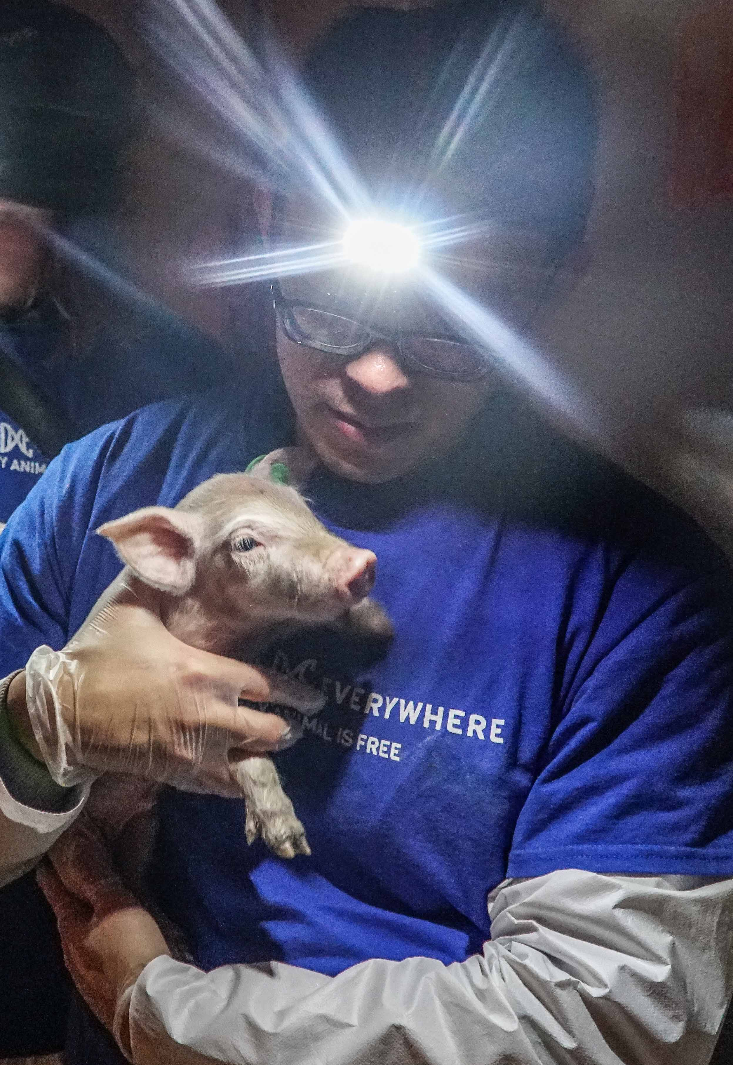 Wayne Hsiung, co-founder of DxE, brings carries a diseased piglet to safety.