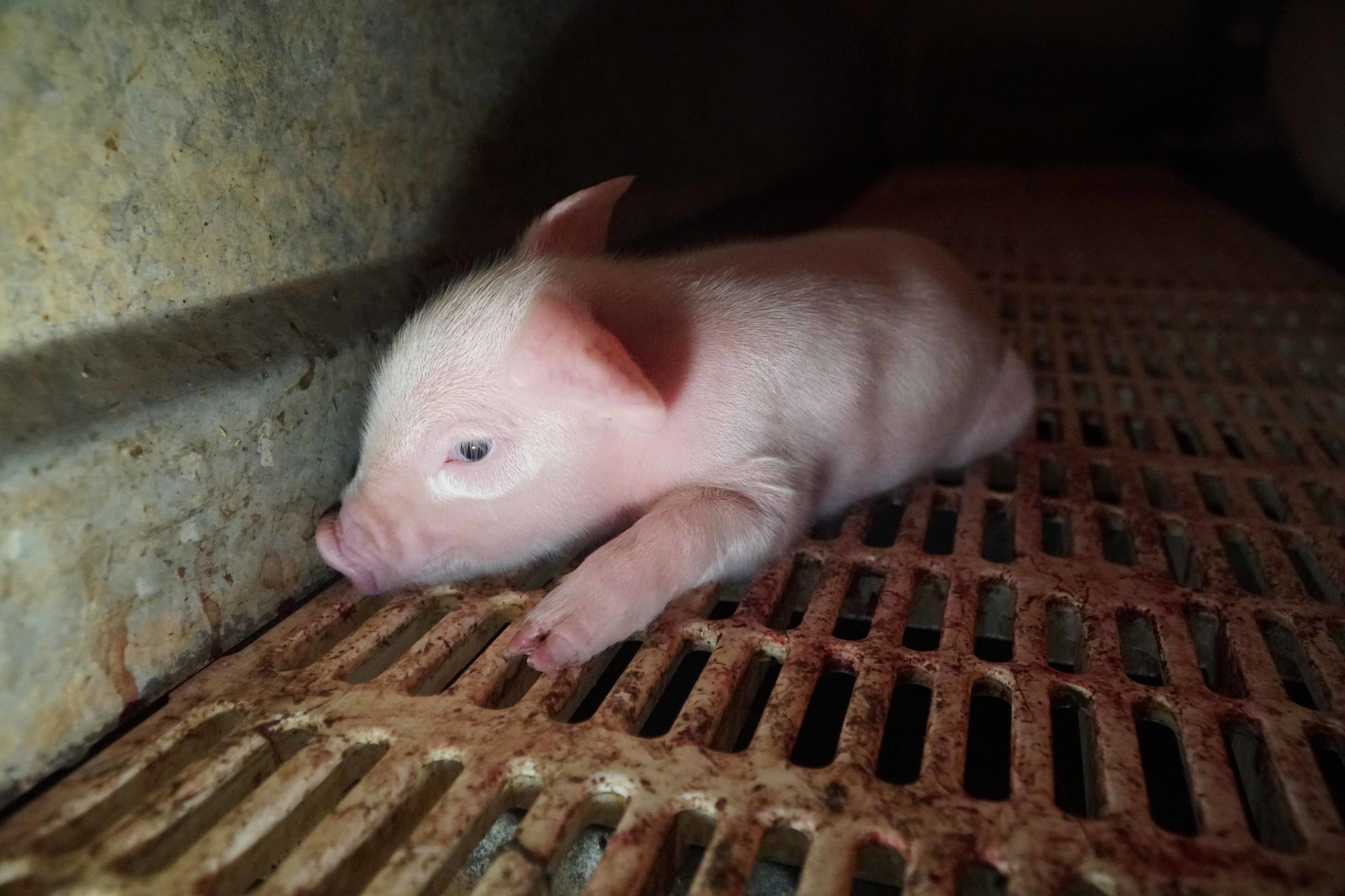 Gestation crates mean that piglets like this one are often separated and can't be cared for by their mother.