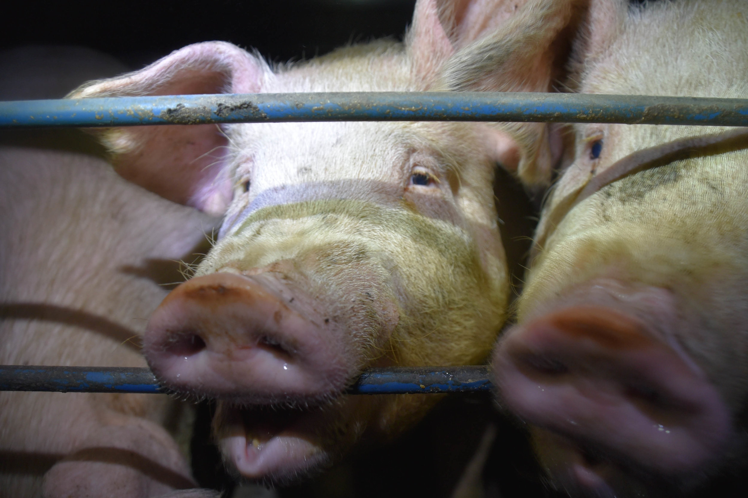 Pigs, said to be smarter than dogs by scientists, commonly chew the bars of their cages in sheer frustration and boredom. Many are literally bored out of their minds.