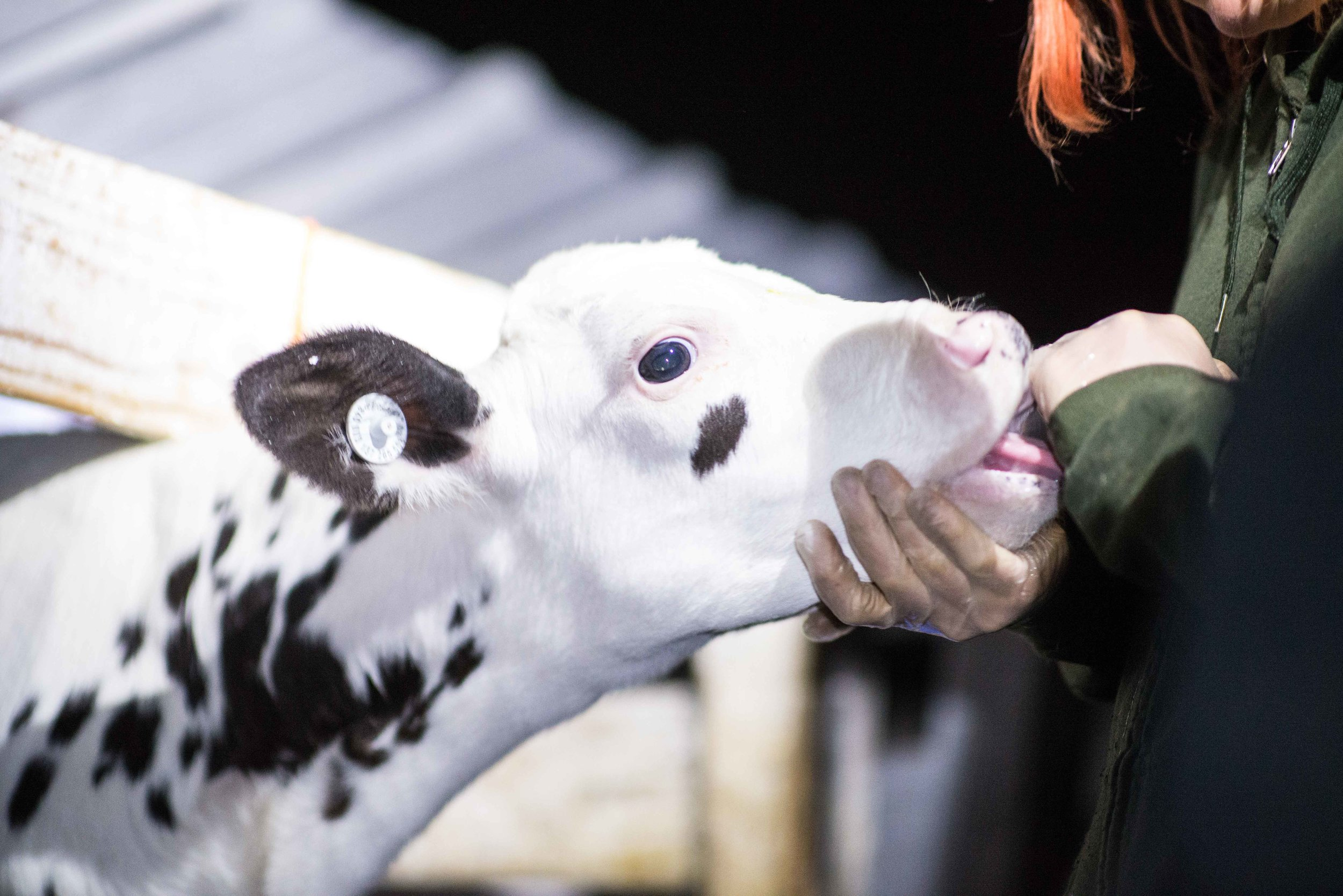 Calves were so desperate for contact for their mothers that they suckled on the fingers of the investigatory team
