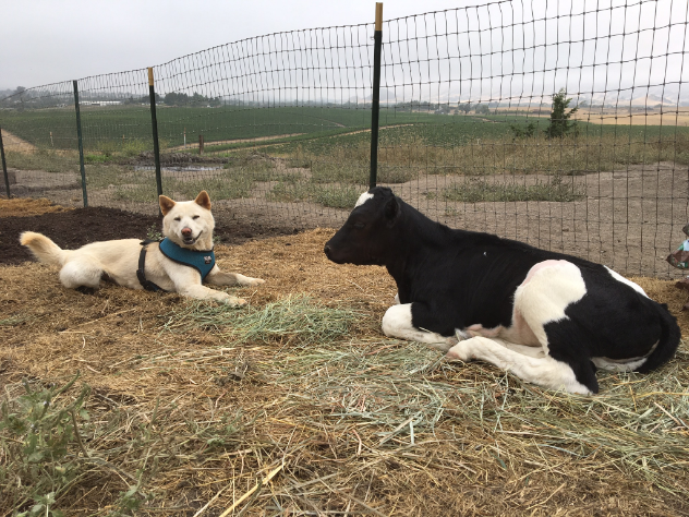 Two success stories of DxE's Open Rescue Network - Pao from a Yulin, China dog meat farm and Roselynn from a California Dairy farm - taking in the comfort of sanctuary life.