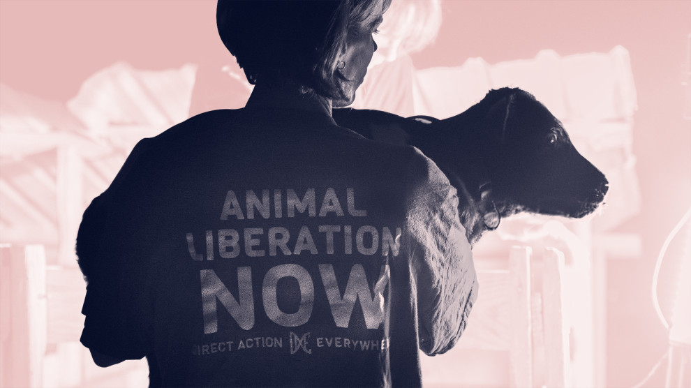 animal liberation now calf rescue