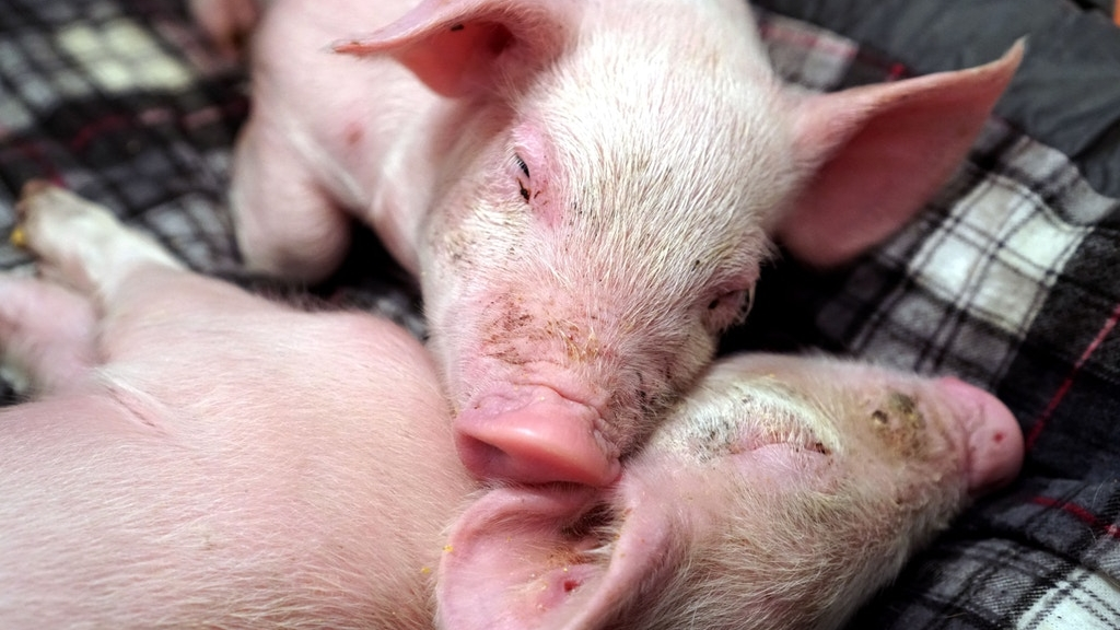 The FBI's Hunt for Two Missing Piglets Reveals the Federal Cover-Up of Barbaric Factory Farms - October 5, 2017The Intercept