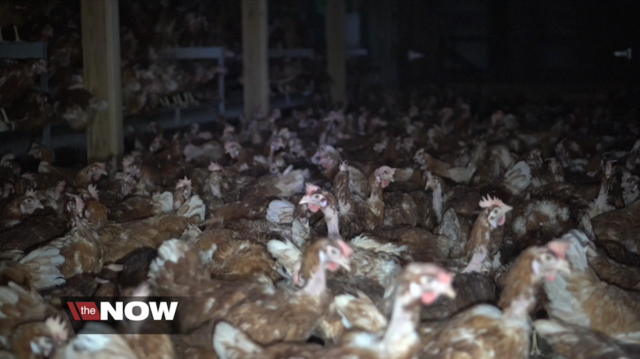 What are 'cage-free' eggs? Likely not what you think - February 21, 2017ABC