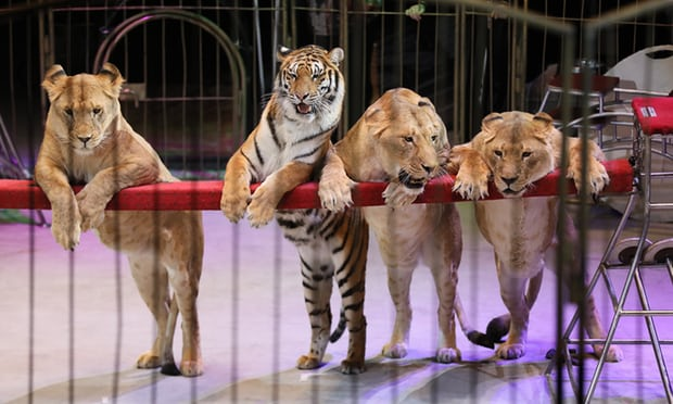 Wild animals like these can no longer be uses in circuses in Scotland.