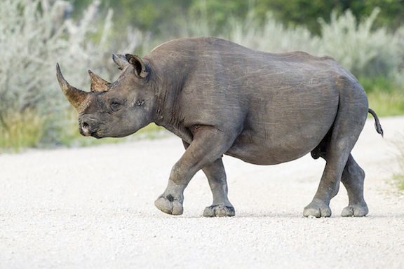 HSUS is trying to keep a hunter from importing a dead black rhinoceros into the U.S.