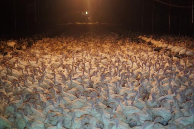 crowded turkeys