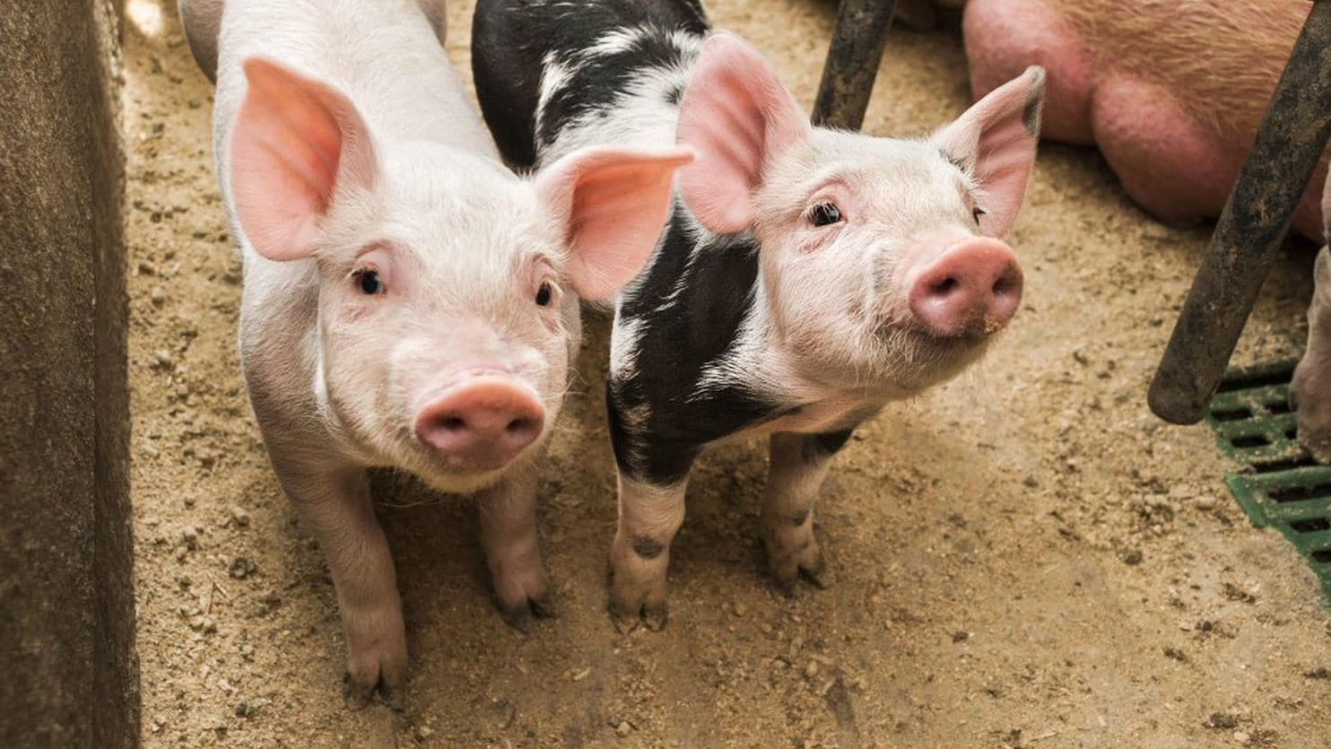 Animal rights activists who removed two piglets from factory farm charged after FBI raids - May 25, 2018The Washington Post