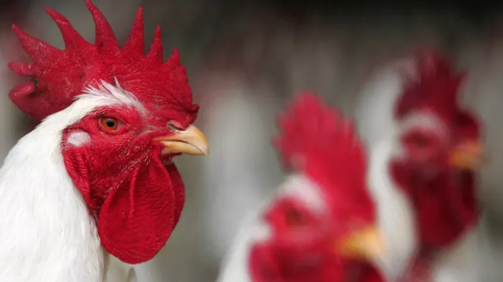 How Chicken Activists in California Broke the Law to Start a Reasonable Debate about Animal Cruelty - June 18, 2018Pacific Standard