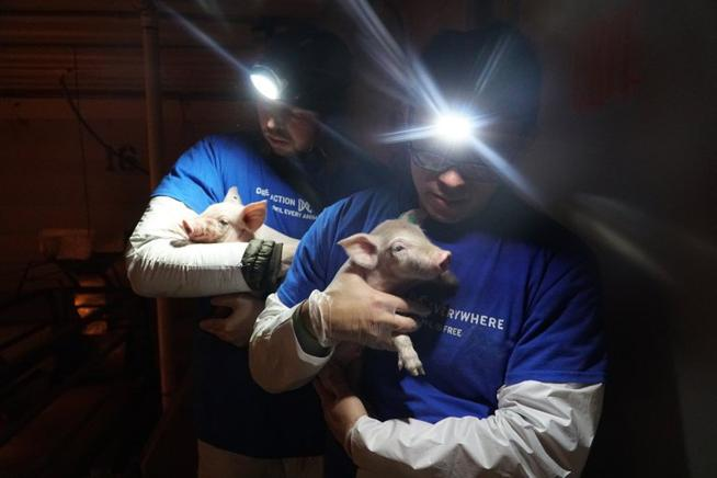 Activists rescuing dying pigs from Smithfield farm. Photo by DxE