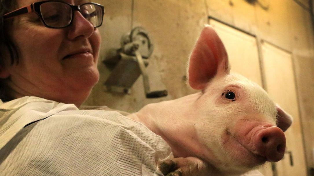 A victory, of sorts, for pig activists - May 20, 2019The Toronto Star