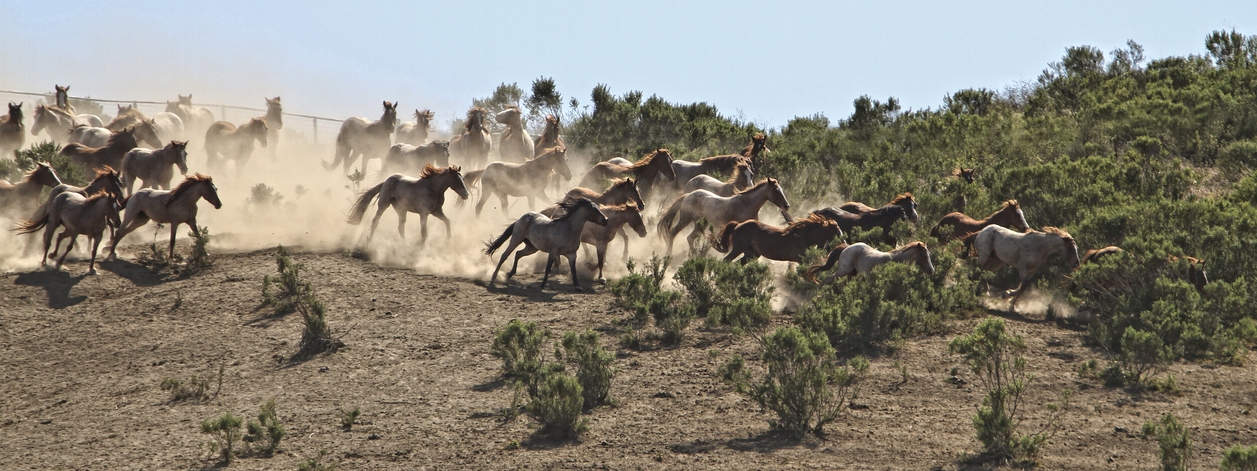 A herd of horses running at Return to Freedom Wild Horse Conservation, in Lompoc, CA.