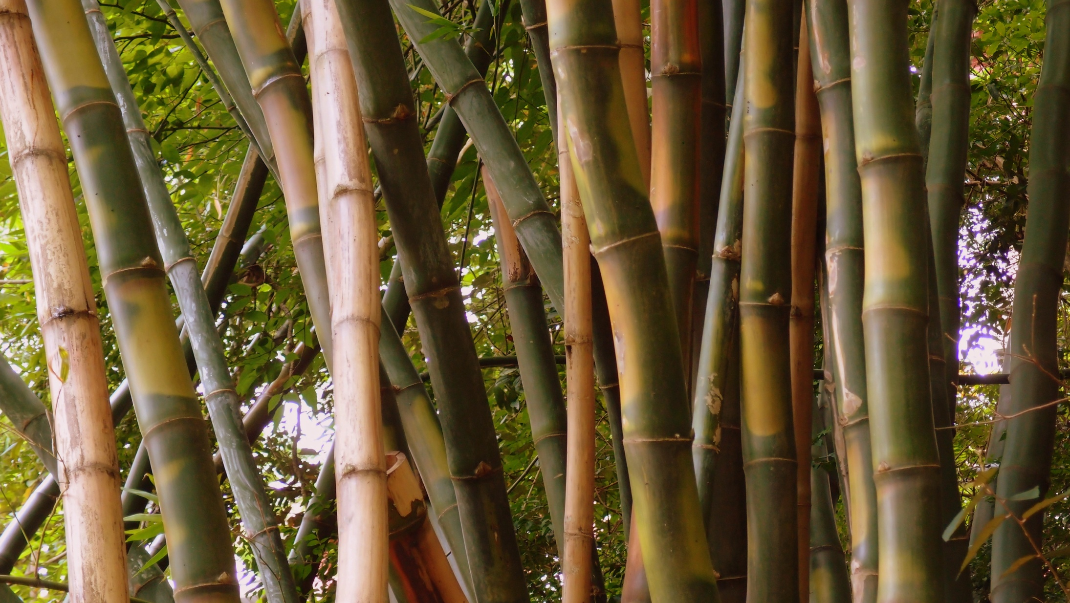 Some very big bamboo