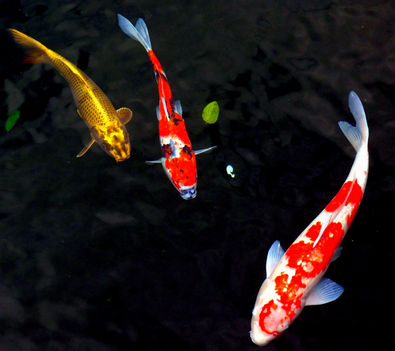 There is a very large koi pond