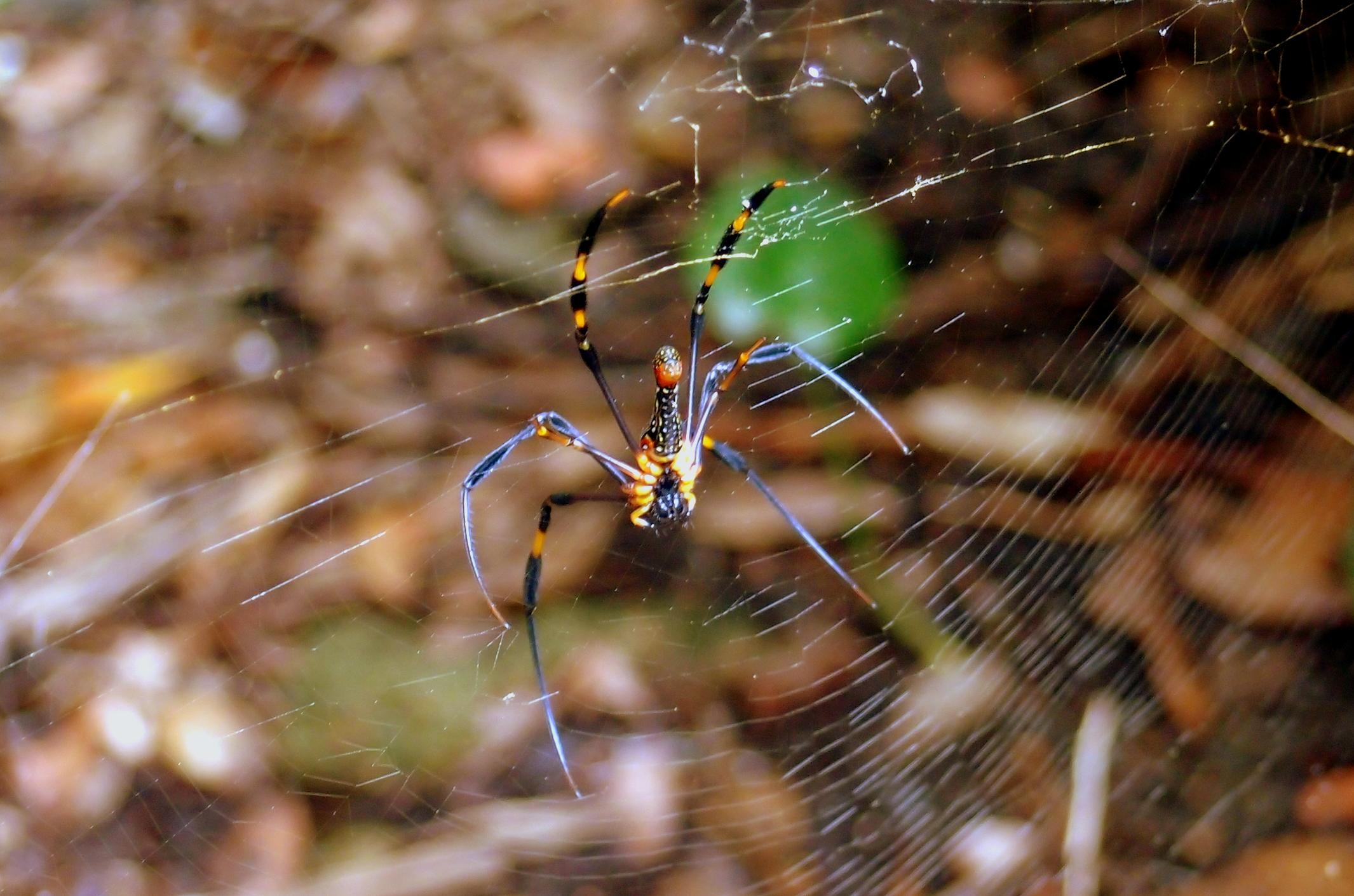 The stuff of nightmares... the Golden Orb spider