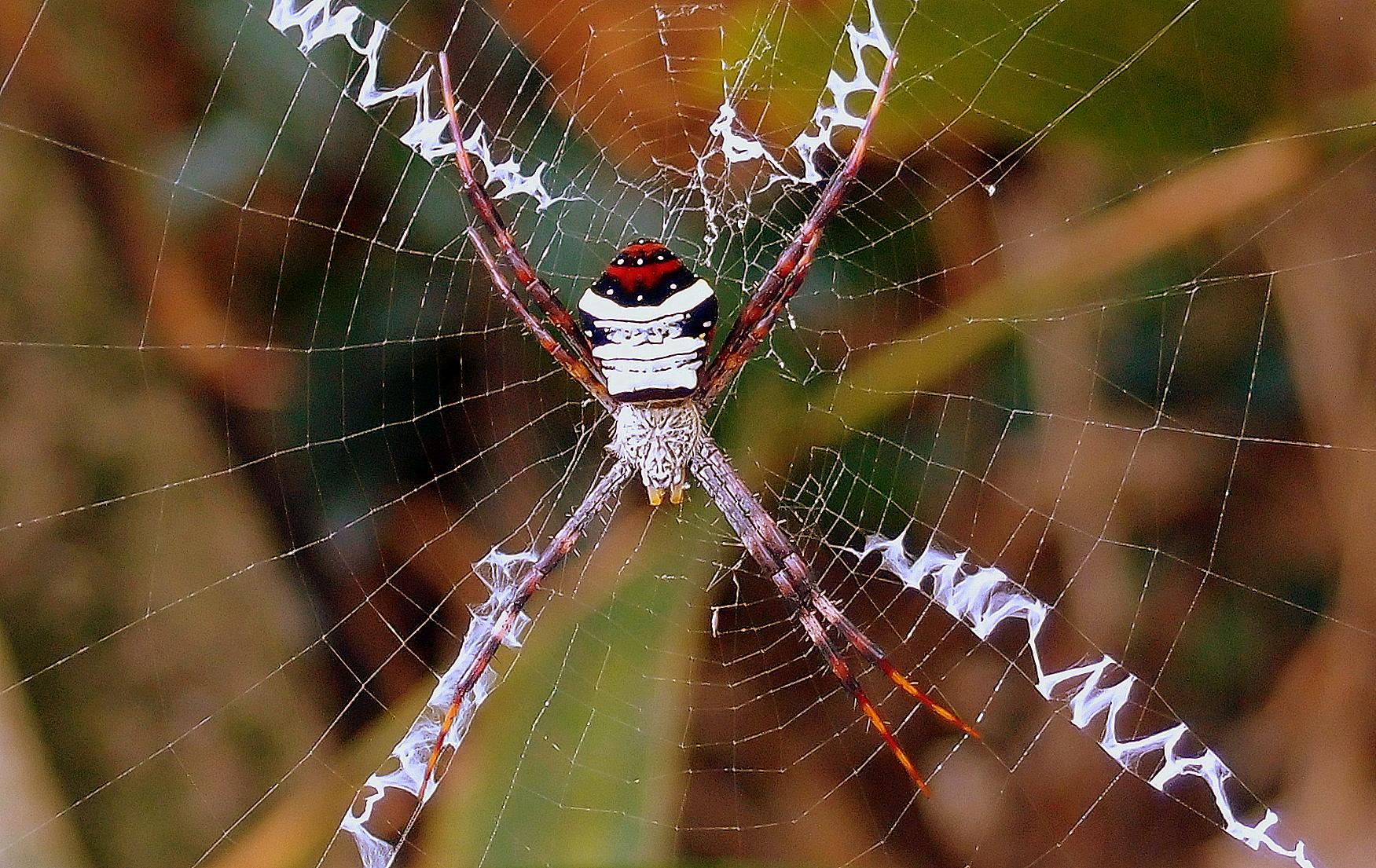 The   smiley face   spider