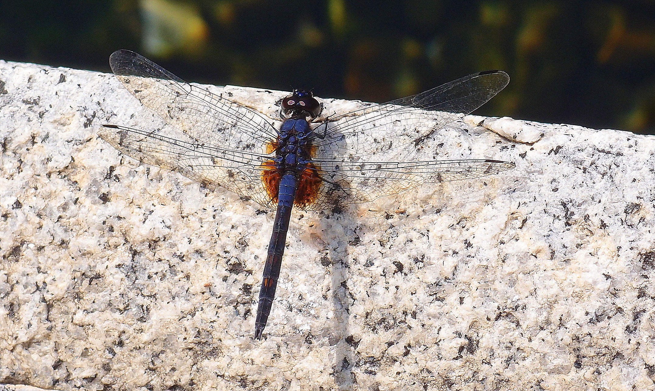 Ha, I finally get a shot of the elusive dragonfly