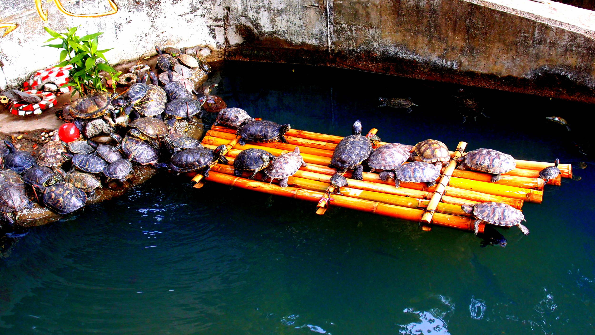 These turtles are so smart (at the 10,000 Buddha Monastery) that they have built an escape raft