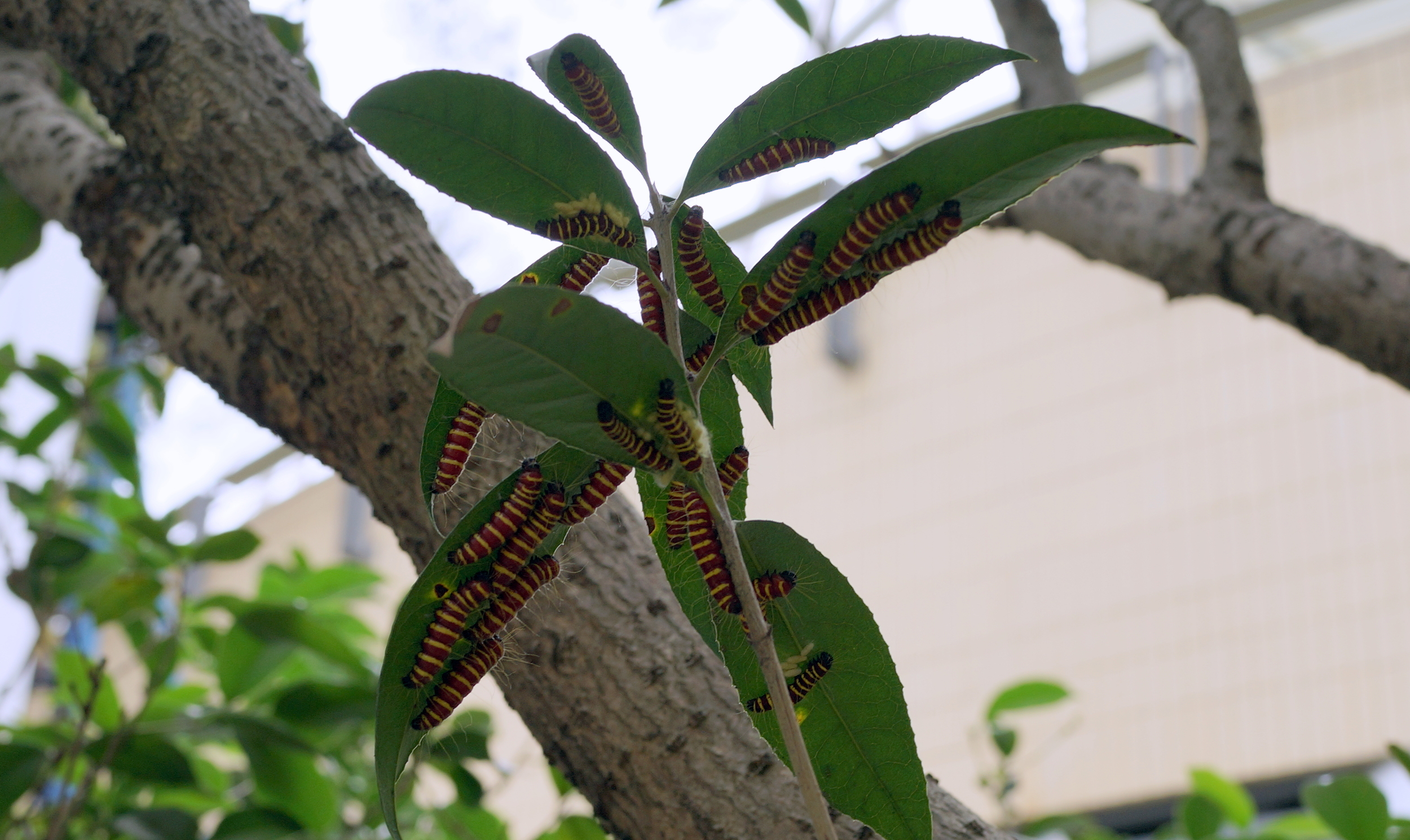 Lots of big hungry caterpillars eating leaves.....