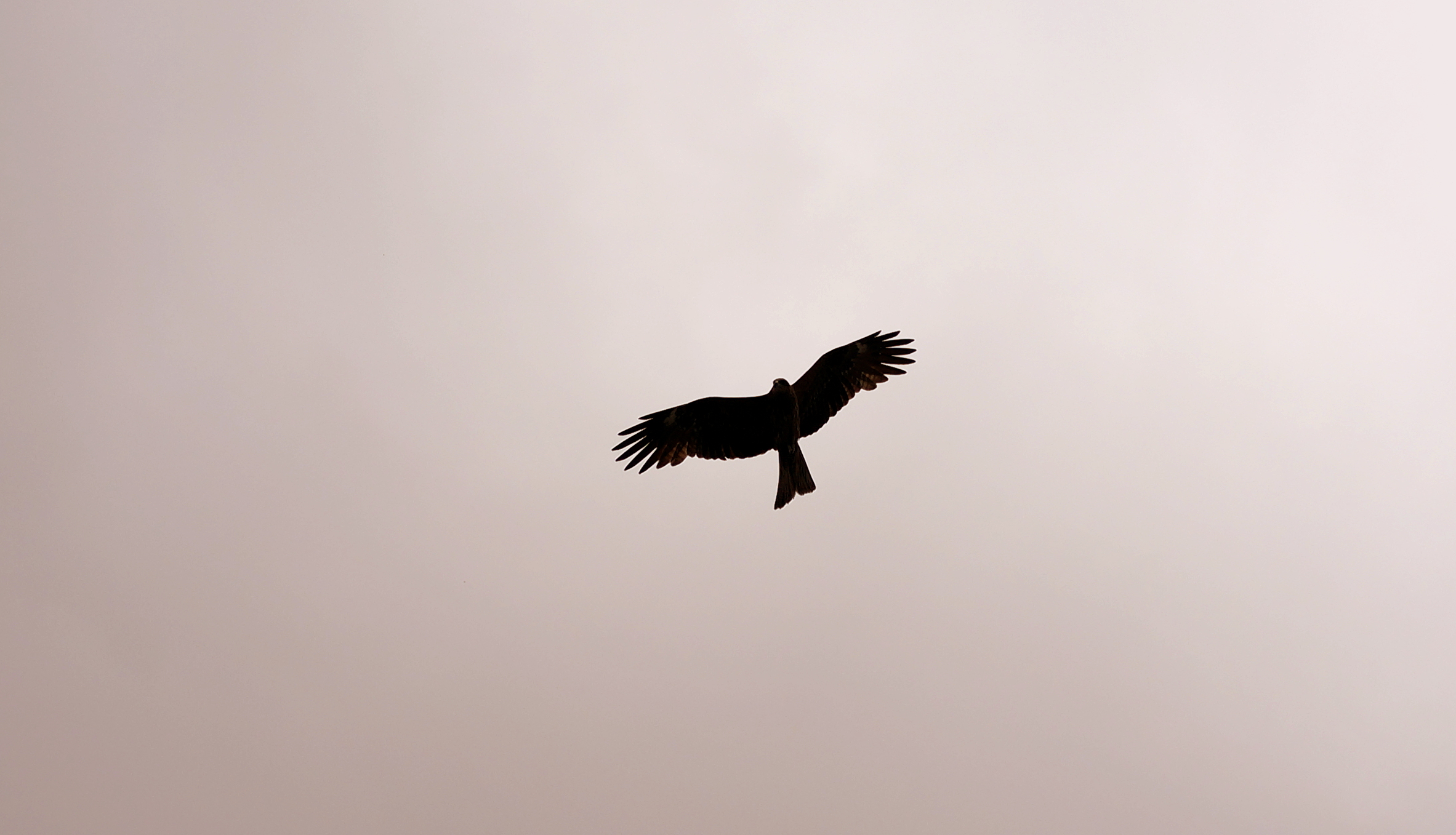 A common sight in the skies of Hong Kong - the Kite.