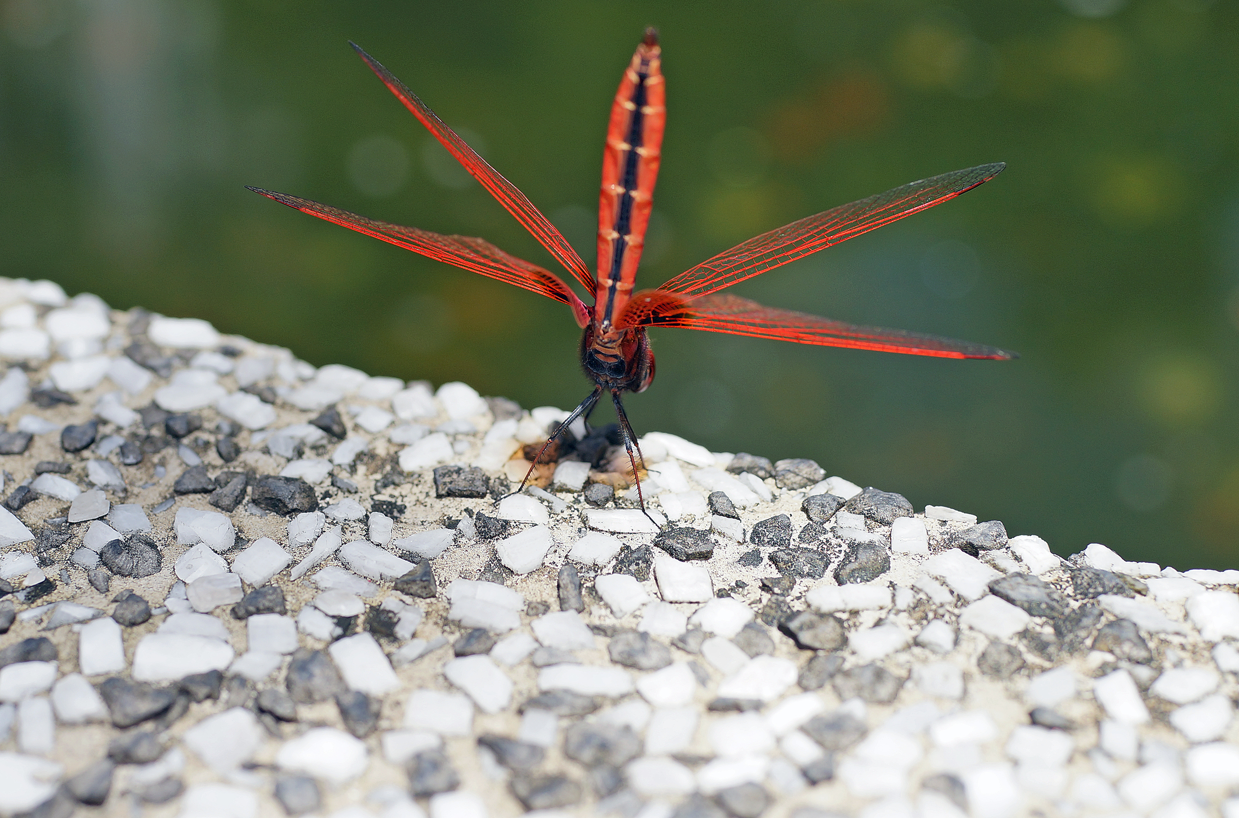 This is my first ever shot of a dragonfly - they are even more elusive and hard to pin down than a butterfly.