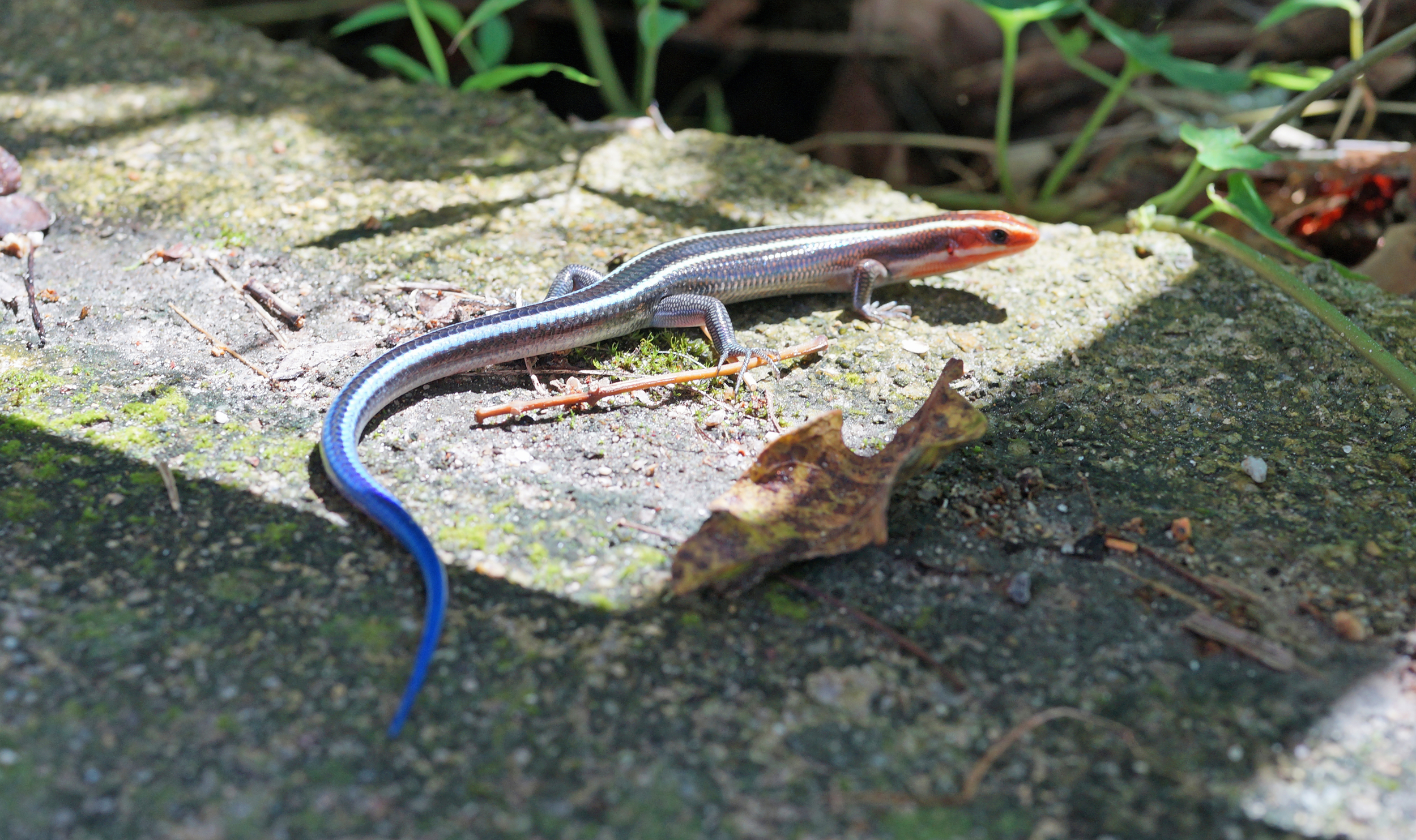 ...and back to the real world, I have never seen a lizard like this in Hong Kong.. very neat.