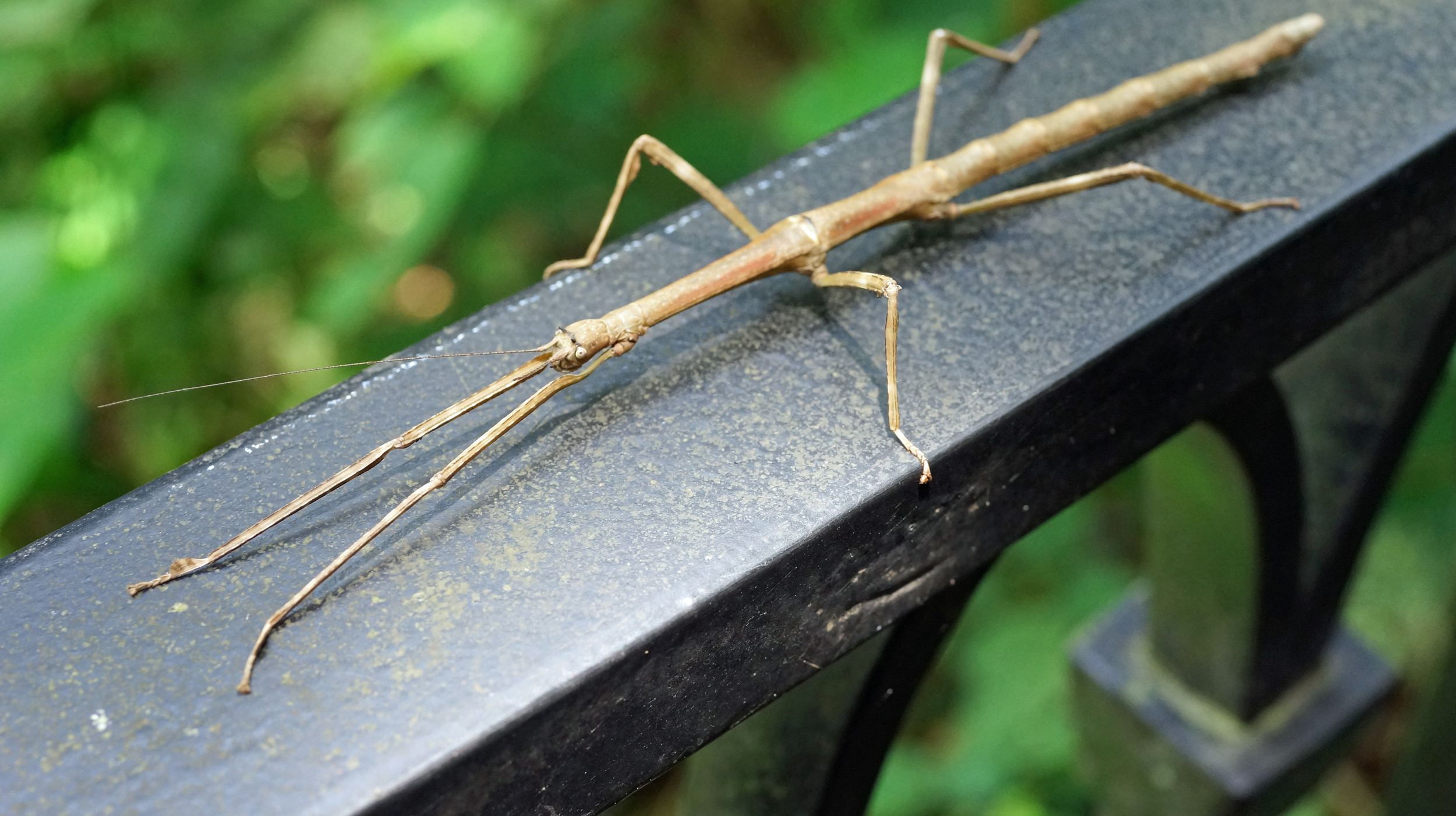 Rather menacing stick insect at the Peak, we do not have an abundance of wildlife so this is one of our more interesting creatures