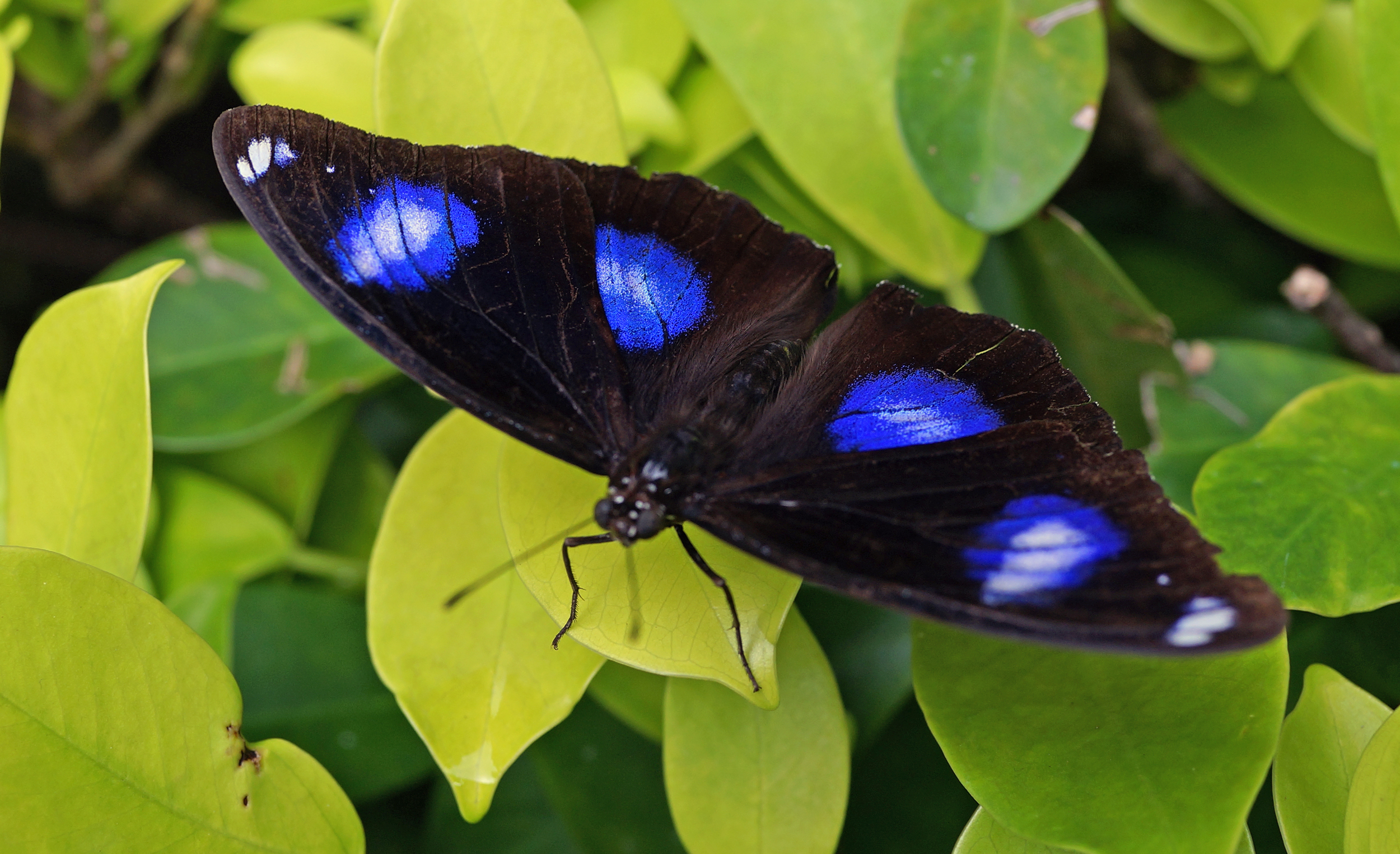 Butterflies never seem to sit still for me so I was quite lucky to get this magnificent specimen in Hong Kong Park.