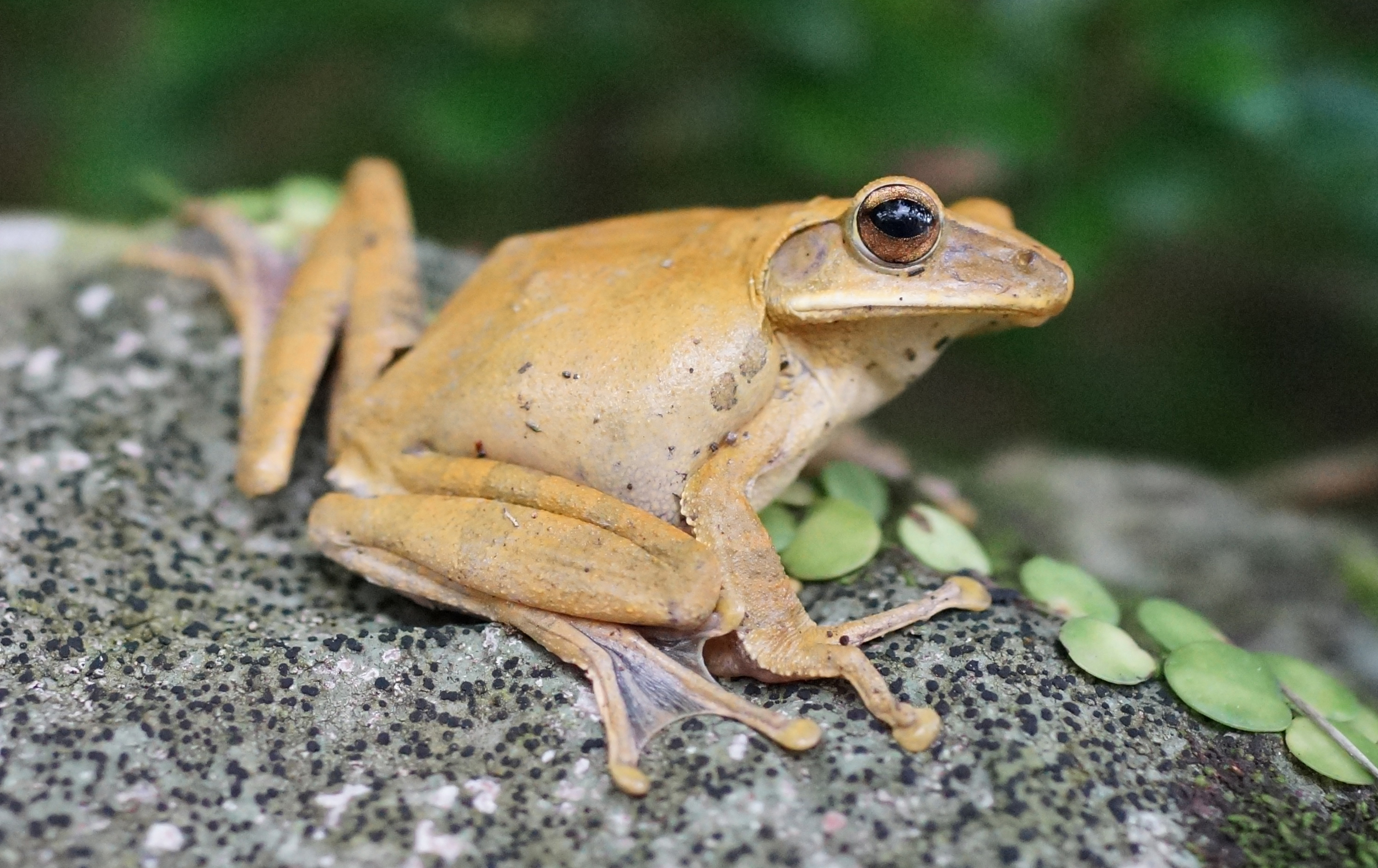 One of my rare shots of a frog in the wild, I spotted this one at the Peak, hopefully it will lead a long and happy life and not end up in someone's pot! -