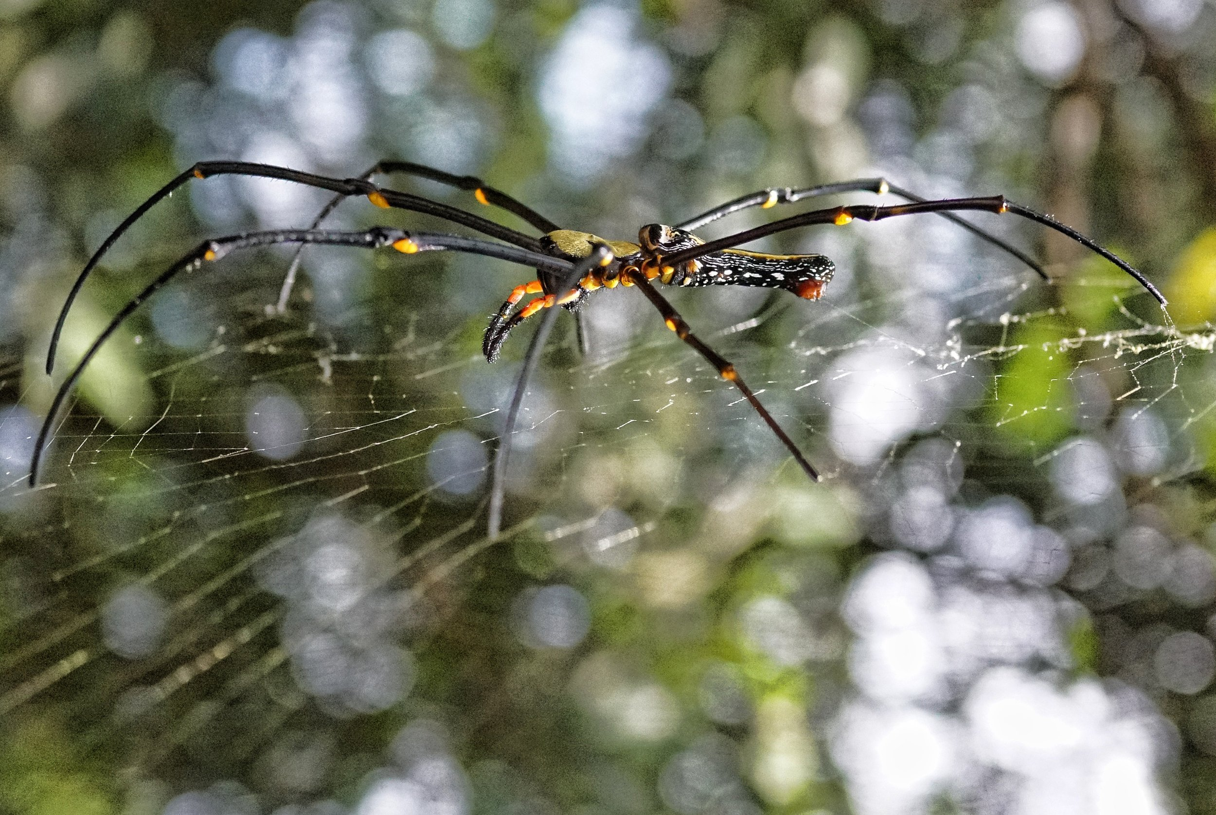 Golden Orb Spider, Victoria Peak (3).jpg
