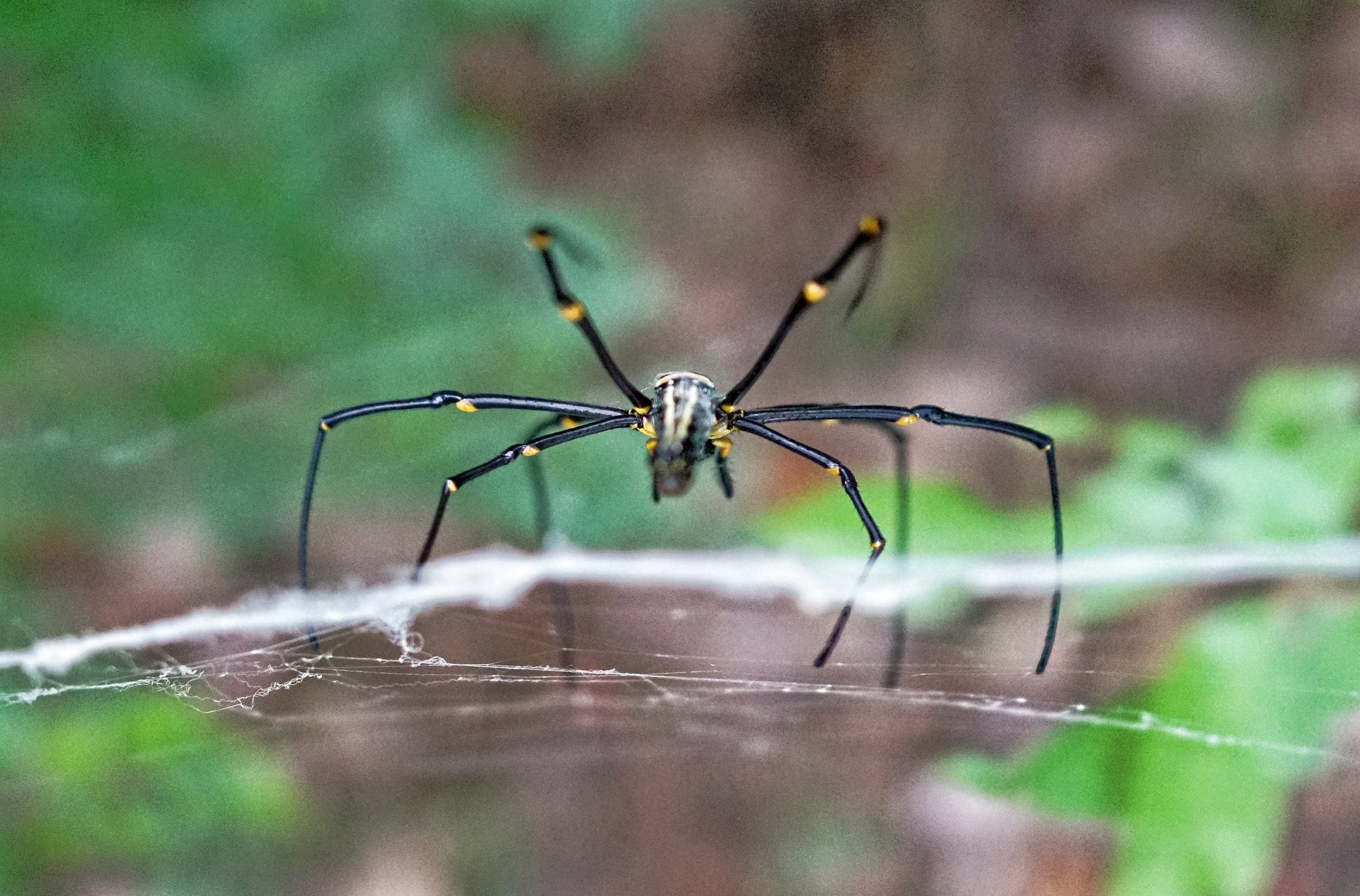 Golden Orb Spider, Victoria Peak (4).jpg
