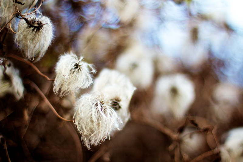 clematis seed head