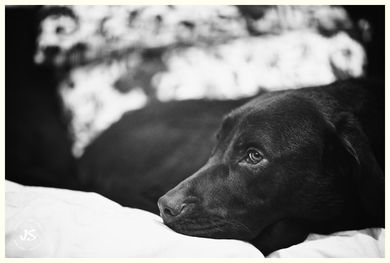 animal portrait - labrador