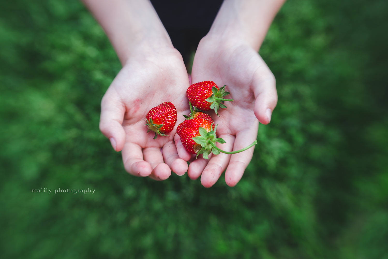 first strawberries | malily photography schuylkill haven photographer