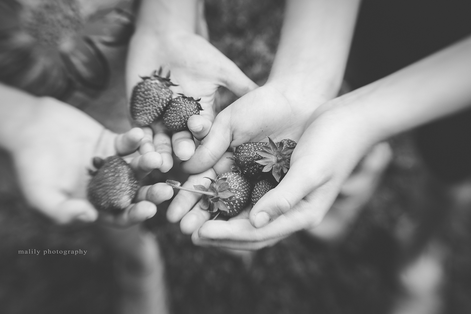 first strawberries | malily photography schuylkill haven fine art photographer