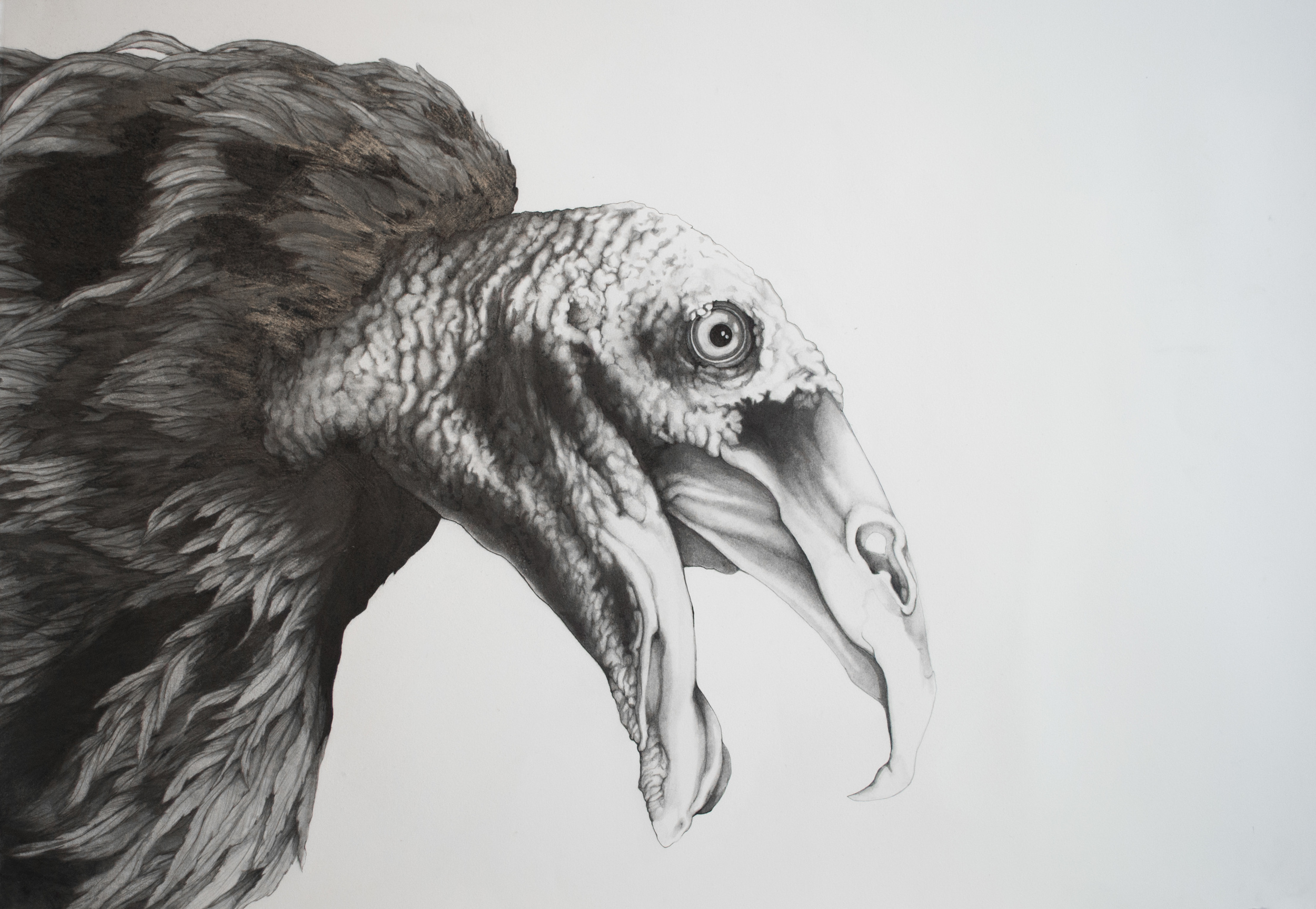 "Turkey Vulture  Graphite and Ink on Paper  29.5"" x 42"""