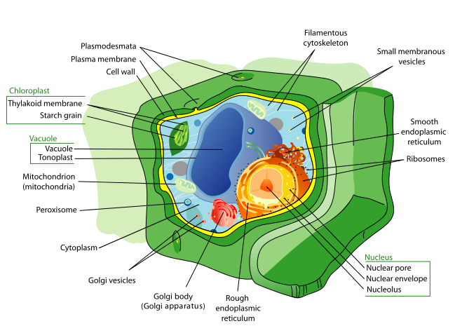 Plant Cell Structure by  Ladyofhats