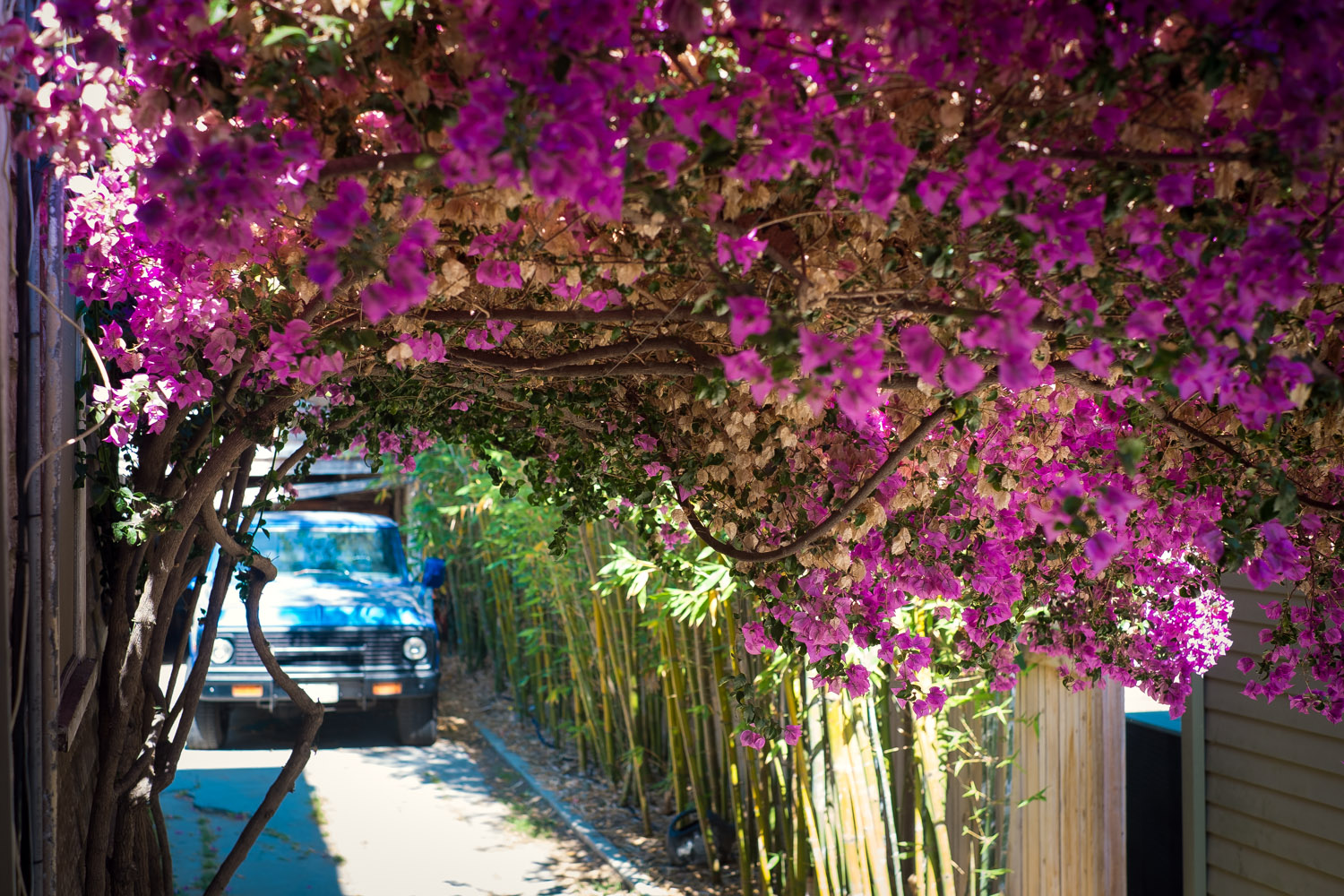 Some beautifulBougainvilleas in Harvard Heights.