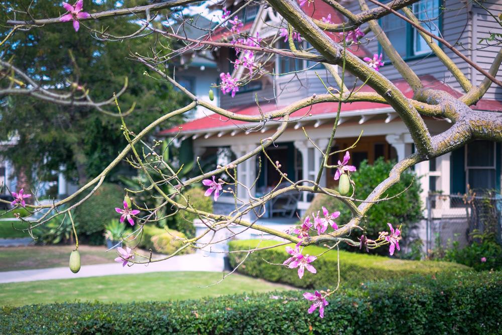 Silk Floss Tree Blooming