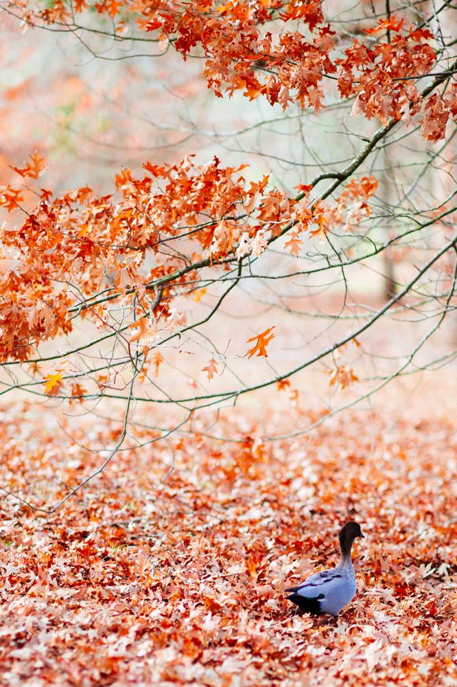 red-leaves-duck.jpg