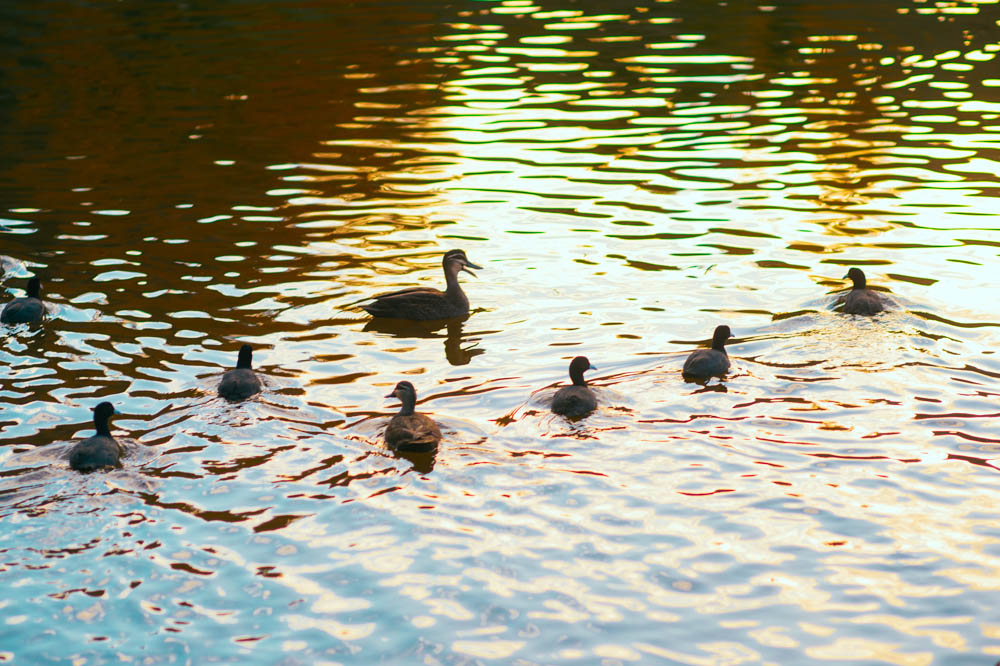 mount-lofty-botanic-gardens-ducks.jpg