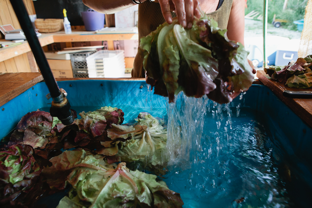 Genesis washing lettuce for market at Full Hand Farm in Greenfield, Indiana.