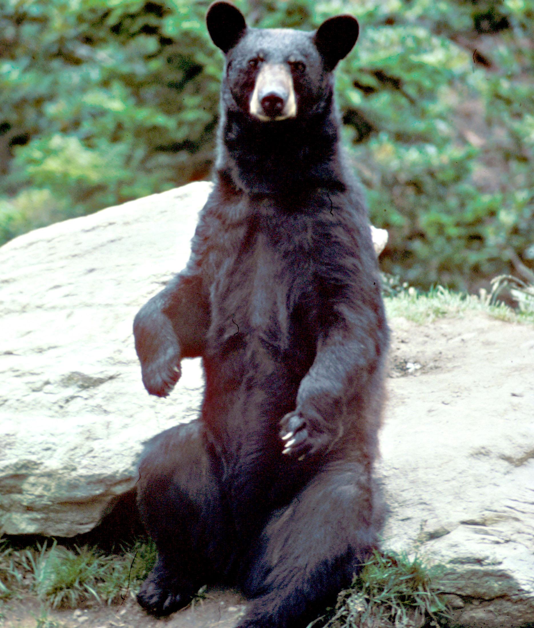 Black Bear.jpg