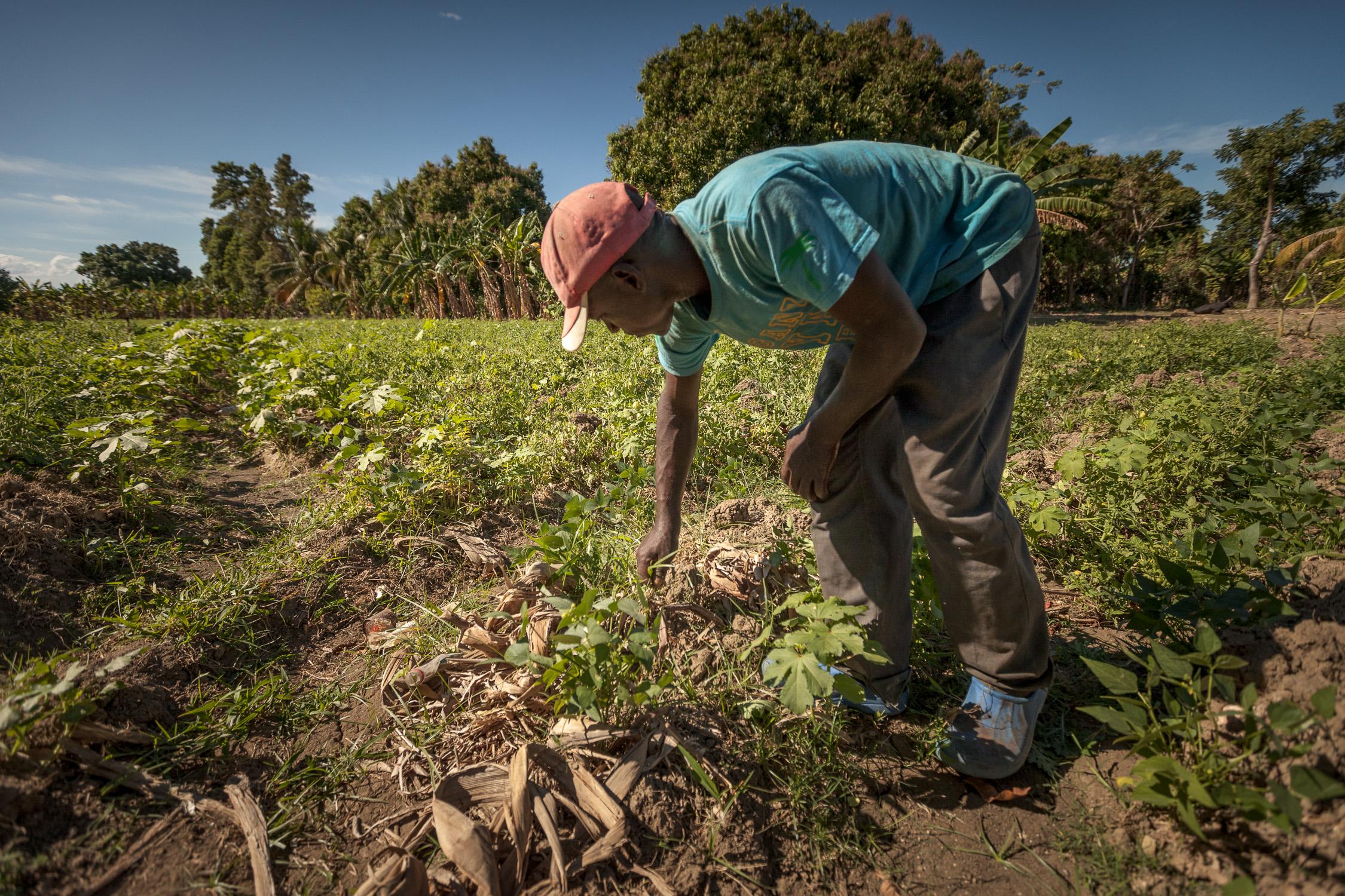 Farmer inspects crops