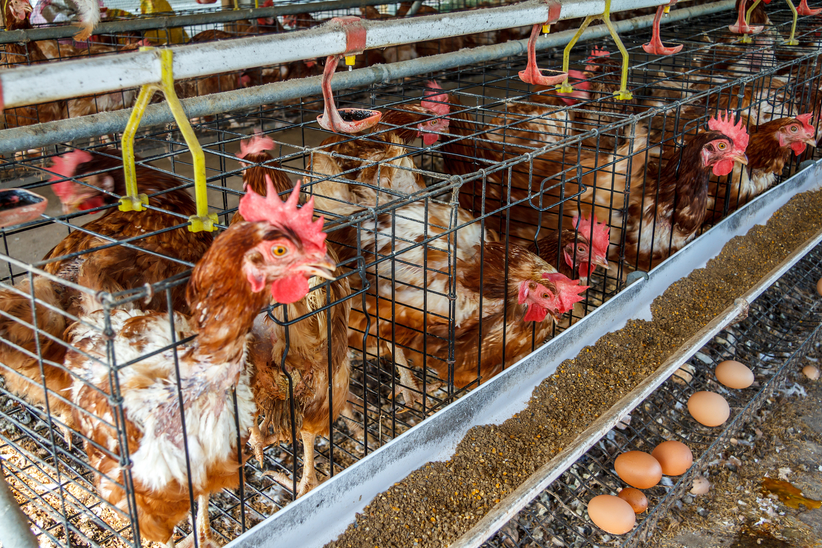 5-bigstock-Farm-Chicken-43746832.jpg