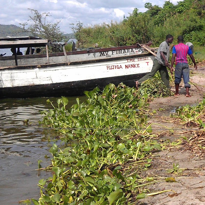 The invasive water hyacinth on the lakes' bank