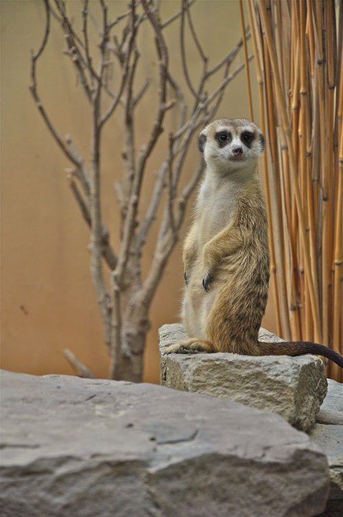 Meerkat at the National Zoo