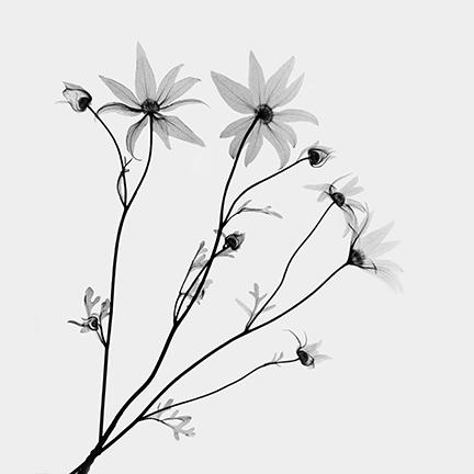 Flannel flower (Actintus heliathi} .jpg